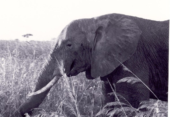 black and white elephant photography